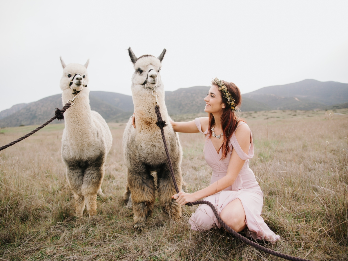 Alpacas with the Bride